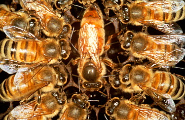 Queen Honey bee surrounded by worker bees (Apis mellifera) UK  -  John B Free/ npl