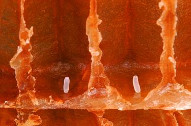 Honey Bee eggs in cells  -  John B Free/ npl