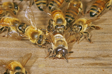 Drone Honey Bee (Apis mellifera) being evicted by workers from hive, UK  -  John B Free/ npl