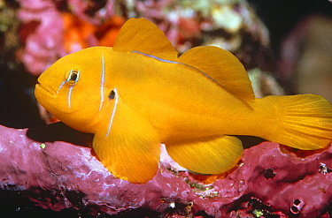 Citron goby (Gobiodon citrinus) Red Sea, Egypt  -  David Hall/ npl