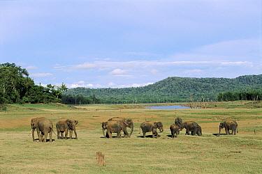 Indian elephant herd grazing Kabini NP Southern India  -  Lockwood & Dattatri/ npl