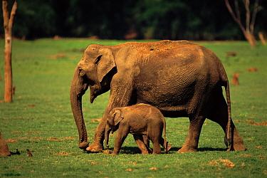 Indian Elephant (Elephas maximus) mother and baby Kabini NP India  -  Lockwood & Dattatri/ npl