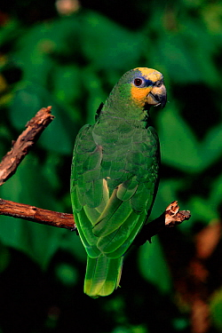 Orange winged amazon parrot (Amazona amazonica) South America  -  Lynn M. Stone/ npl