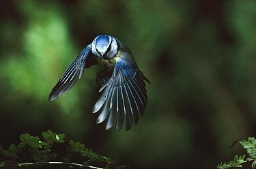 Blue tit flying, Germany  -  Hans Christoph Kappel/ npl