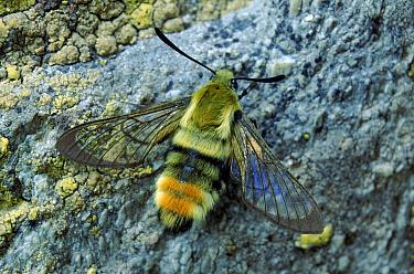 Narrow Bordered Bee Hawk moth, Germany  -  Hans Christoph Kappel/ npl