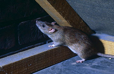 Brown rat (Rattus norvegicus) in attic, captive, UK  -  Warwick Sloss/ npl
