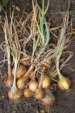 Onion plants harvested in allotment garden (Allium cepa) Devon, UK  -  Dan Burton/ npl