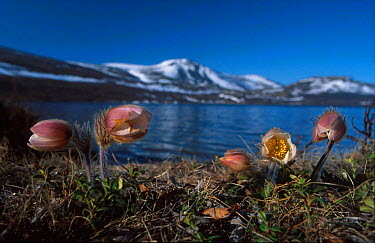 Dovrefjell, Norway with Spring pasque flowers in foreground (Pulsatilla vernalis)  -  Asgeir Helgestad/ npl