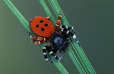 Ladybird spider (Eresus cinnaberinus) Germany  -  Ingo Arndt/ npl