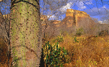 Caatinga tree Note thorns Drought resistant species, storing water in swollen trunk Bahia State, NE Brazil South America Threatened Habitat  -  Pete Oxford/ npl