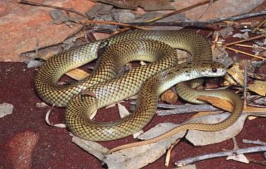 New species of King brown snake (Pseudechis sp) NT, Australia  -  Robert Valentic/ npl