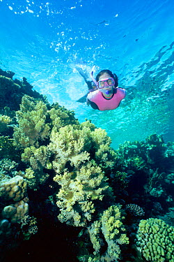 Snorkeller swimming over coral reef Sharm el Sheikh, Red Sea Egypt  -  Dan Burton/ npl
