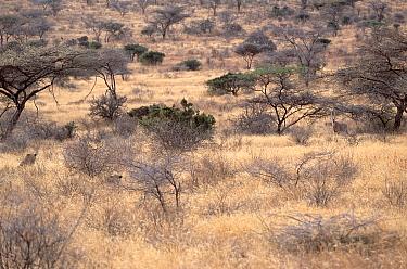 Two Lions (Panthera leo) stalking Oryx Samburu NR, Kenya  -  Carine Schrurs/ npl