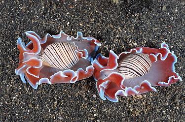 Two Bubble shells (Hydatina physis) Lembeh Strait, Sulawesi, Indonesia  -  Carine Schrurs/ npl