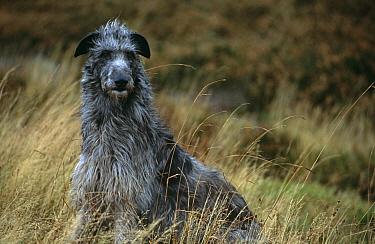 Deerhound breed dog on moorland (Canis familiaris) UK  -  Colin Seddon/ npl