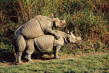 Indian rhinos mating (Rhinoceros unicornis) Kaziranga NP, Assam, India  -  Lockwood & Dattatri/ npl