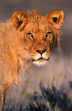 Lion portrait, young male (Panthera leo) Kgalagadi TP, South Africa  -  Tony Heald/ npl