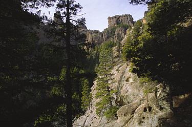 Patagonian cypress forest (Austrocedrus chilensis) Valle Encantado, Patagonia, Argentina  -  Daniel Gomez/ npl