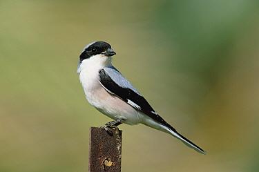 Lesser grey shrike (Lanius minor) Musandam, Oman  -  Hanne & Jens Eriksen/ npl