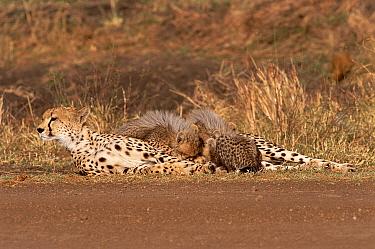 Cheetah suckling cubs by side of track (Acinonyx jubatus) Masai Mara, Kenya  -  Carine Schrurs/ npl