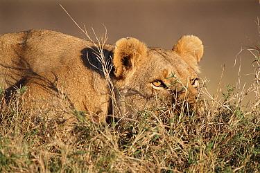 Lioness watching approaching prey (Panthera leo) Masai Mara, Kenya  -  Carine Schrurs/ npl