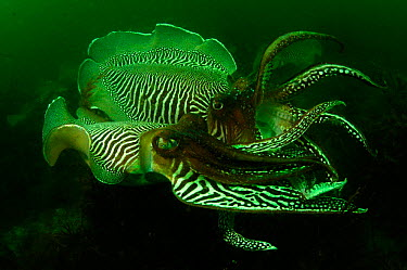 Common cuttlefish (Sepia officinalis) males compete to mate with females Devon, UK  -  Alan James/ npl