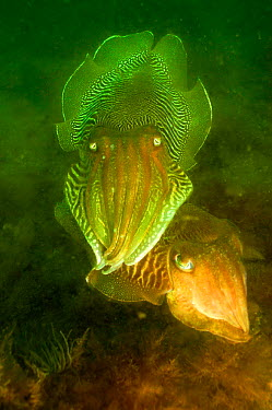 Common cuttlefish (Sepia officinalis) male guarding female, Devon, UK  -  Alan James/ npl