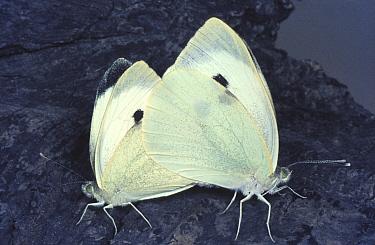 Large white, Cabbage white butterfly (Pieris brassicae) mating, England, UK  -  John B Free/ npl