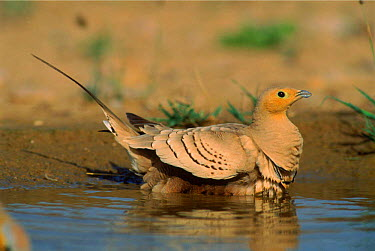 Chestnut bellied sandgrouse (Pterocles exustus) male, collecting water in feathers, Jaaluni, Oman  -  Hanne & Jens Eriksen/ npl