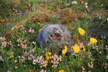 Snowy owl (Nyctea scandiaca) chick on heathland nest, Kolyma, Siberia  -  Hanne & Jens Eriksen/ npl