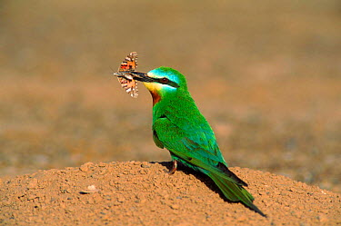 Blue cheeked bee eater (Merops superciliosus) with moth prey in beak, Hafeet, Oman  -  Hanne & Jens Eriksen/ npl