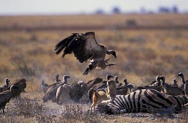 Black backed jackal (Canis mesomelas) chasing vultures at kill Estosha NP, Namibia  -  Tony Heald/ npl