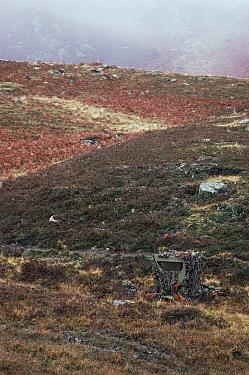 Camera hide camouflaged amongst heather and bracken, Perthshire, Scotland, UK  -  Mark Yates/ npl