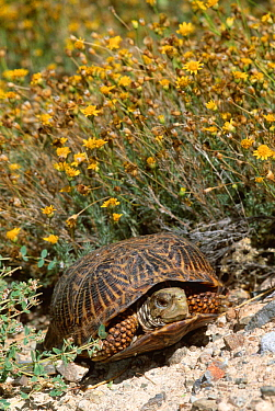 Desert box turtle (Terrapene ornata luteola) Arizona, USA  -  Lynn M. Stone/ npl