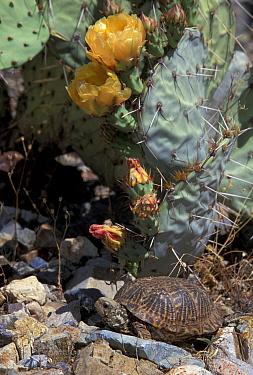 Desert box turtle (Terrapene ornata luteola) Arizona, US  -  Lynn M. Stone/ npl
