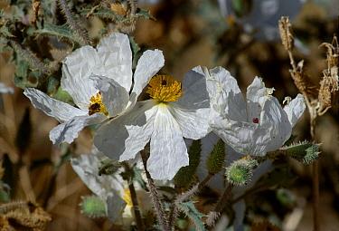Close up of white Prickly poppy (Argemone polyanthemos), bee on one flower, California, USA  -  David Welling/ npl