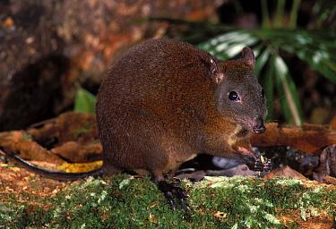 Musky rat kangaroo feeding (Hypsiprymnodon moschatus) Queensland, Australia  -  Dave Watts/ npl