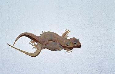 Two Gekkos on wall (Gekkonidae) Sri Lanka  -  Ingo Arndt/ npl