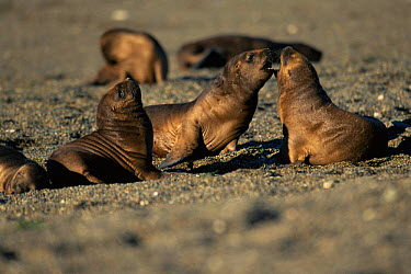 South American, Patagonian sealion pups playing (Otaria flavescens) Valdez peninsula, Argentina  -  Gabriel Rojo/ npl