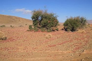 Swarm of juvenile African migratory locusts warming in morning sun (Locusta migratoria)  -  Philip Dalton/ npl