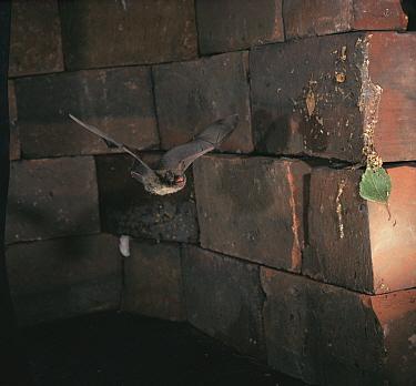 Brandt's bat flying (Myotis brandtii) Germany  -  Dietmar Nill/ npl