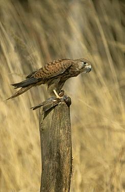 Kestrel (Falco tinnunculus) with bird prey, Podlasie, Poland  -  Artur Tabor/ npl