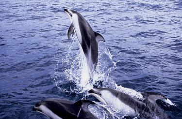 Pacific white sided dolphins (Lagenorhynchus obliquidens) Baja California,  -  Doc White/ npl