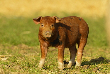 Organic free-range piglet Wiltshire, UK  -  T.J. Rich/ npl