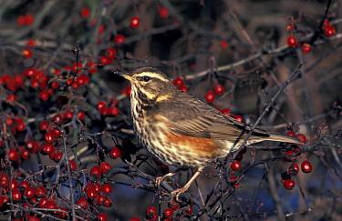 Redwing in Hawthorn with berries (Turdus iliacus) UK  -  Mike Wilkes/ npl