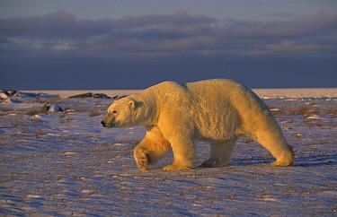 Polar bear walking (Ursus maritimus) Churchill, Manitoba  -  Eric Baccega/ npl