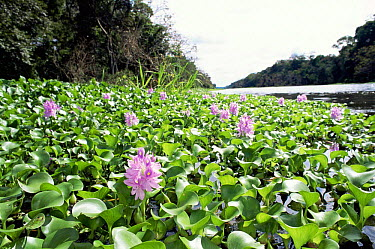 Water hyacinth (Eichhornia crassipes) Lake Jaraua, Amazonas, Brazil  -  Luiz Claudio Marigo/ npl