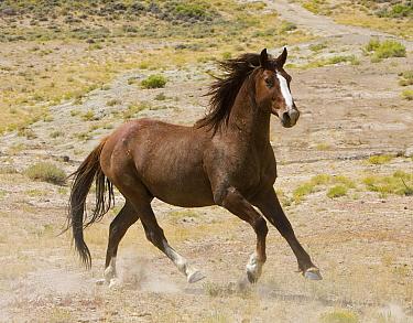 Chestnut stallion (Equus caballus) cantering, Adobe Town, Southwestern Wyoming, USA  -  Carol Walker/ npl