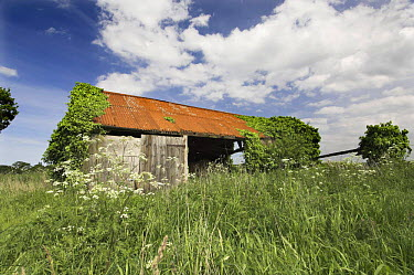 Derelict farm building, colonised by plants, Norfolk, UK  -  Gary K. Smith/ npl