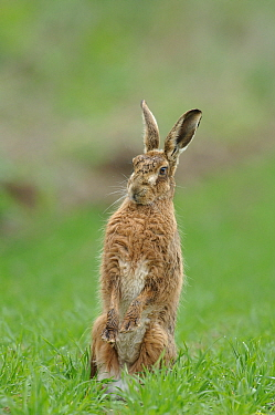 European Hare (Lepus europaeus) sitting up, Norfolk, UK  -  Gary K. Smith/ npl